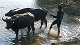 buffalo-farmer-305.jpg
