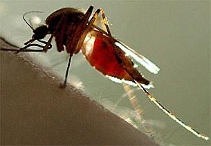 mosquito-305.jpg