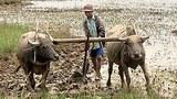 farmer_buffalos_305_z