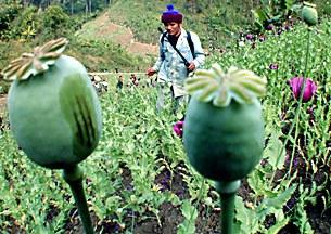 opium-poppy-305.jpg