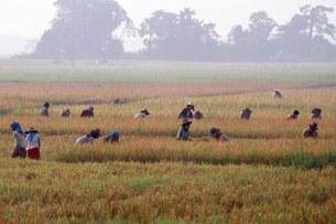 paddy-field-farmer-305
