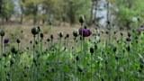 opium-cultivation-622.jpg