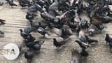 Pigeon-622.jpg