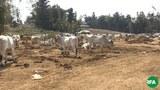 cows-622.JPG