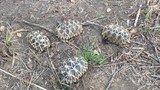 myanmar-star-tortoise-622.jpg