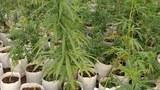 cannabis-622.jpg
