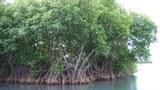mangroves-620.JPG