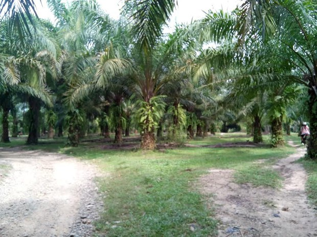 oil-palm-620.jpg
