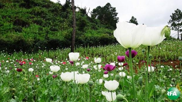 opium-620.jpg