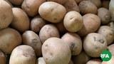 potato-622.jpg
