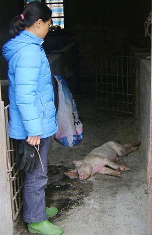 湖北磷矿镇刘冲村,大量生畜因饮被污染的水死亡。(相片由村民姚女士提供)