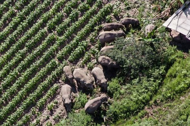 China's Roaming Elephants Capture World Attention, Highlight Habitat Loss