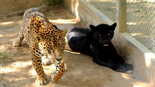 china-bigcats.jpg