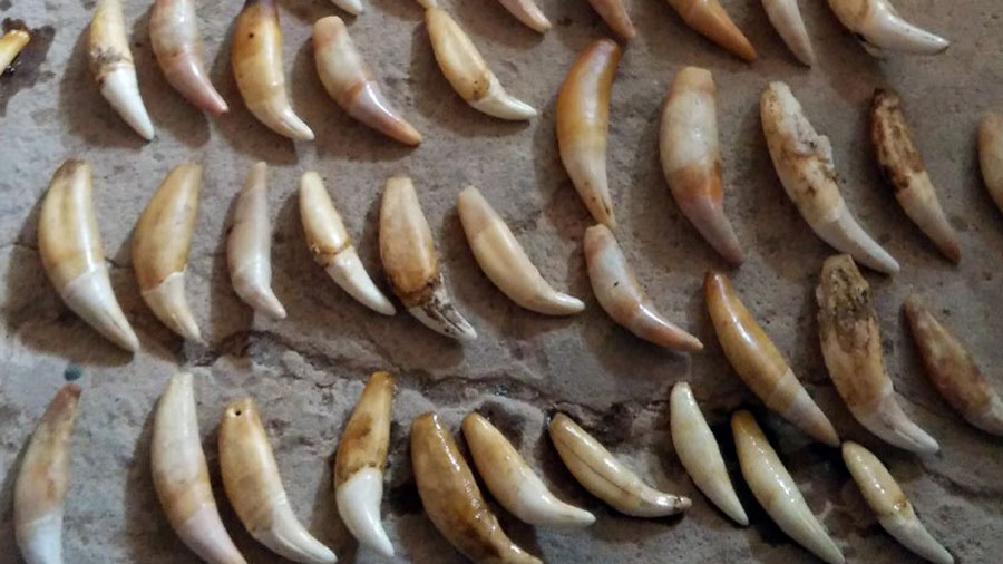 Jaguar canine teeth, which are trafficked to China and used in jewelry and as an aphrodisiac, in file photo released by Bolivia's Directorate of Biodiversity and Protected Areas.