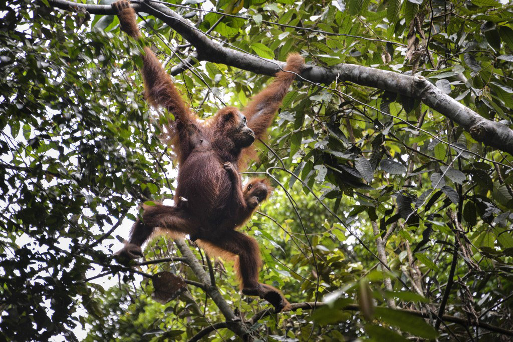 Sumatran orangutans at Soraya research station in the Leuser rainforest in Subulussalam, Indonesia's Aceh province, June 20, 2020.