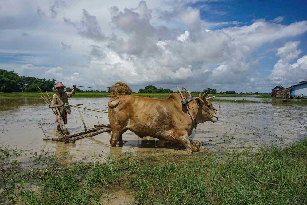 However, in some cases, oxen are still used. Myo Min Soe/RFA