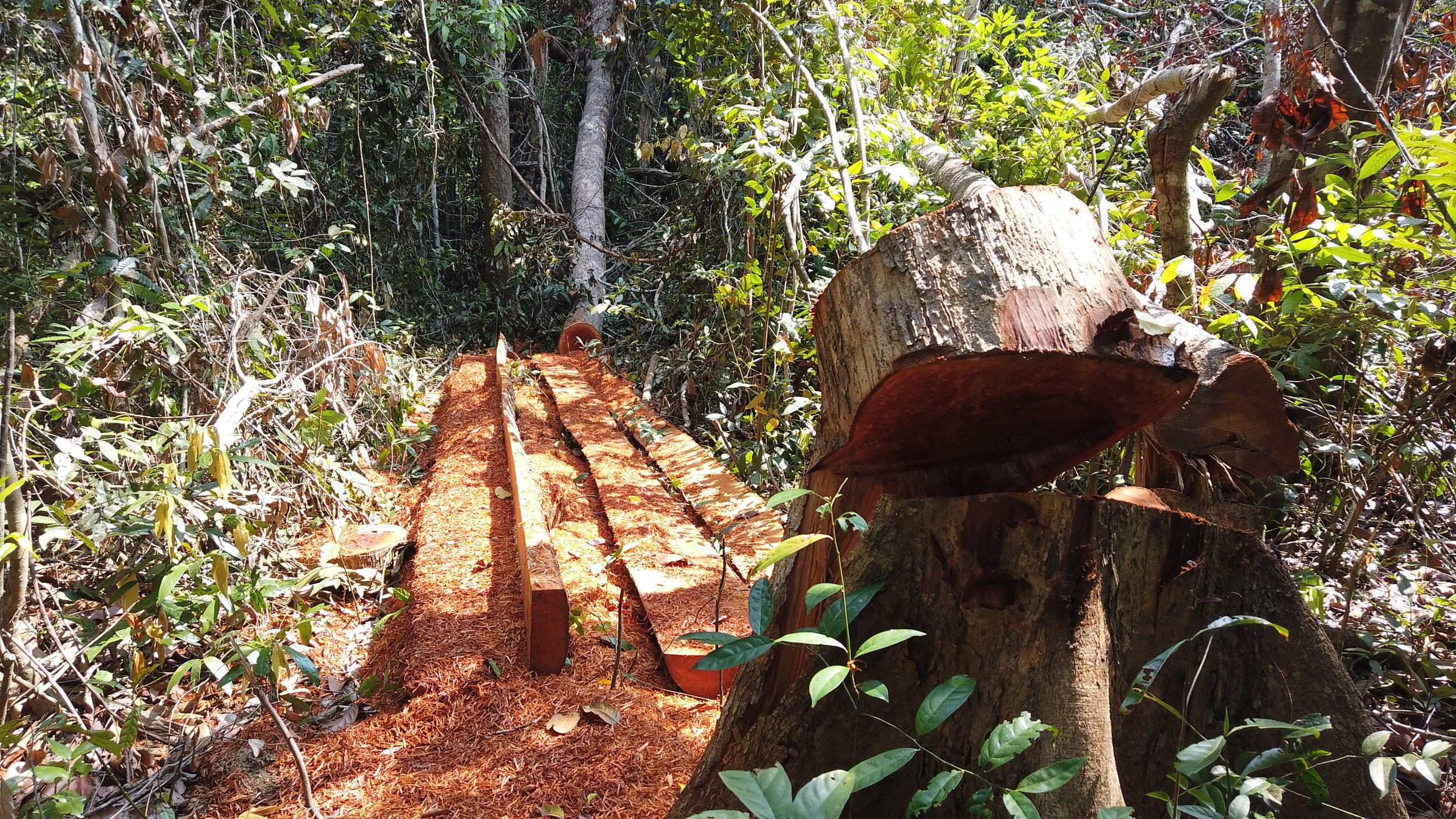 An illegally felled old-growth tree in Prey Lang forest, April 22, 2020. Credit: Lovers of the Environment