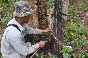 A man cuts the bark of a rubber tree on a plantation in Ratanakiri province, Nov. 5, 2010.