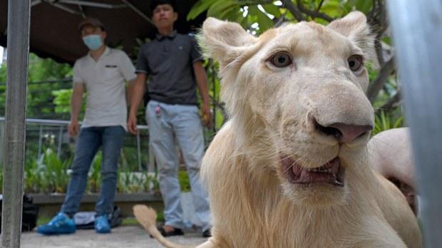 Critics Excoriate Cambodia PM Hun Sen Over a Trafficked Pet Lion