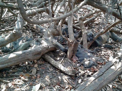 Monkey carcasses lie in a forest area dried out by the drought in the Rohal Sous fishing community in Battambang district's Ek Phnom district, April 28, 2016.