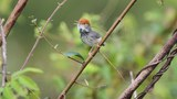 cambodia-tailorbird-wwf-600.jpg
