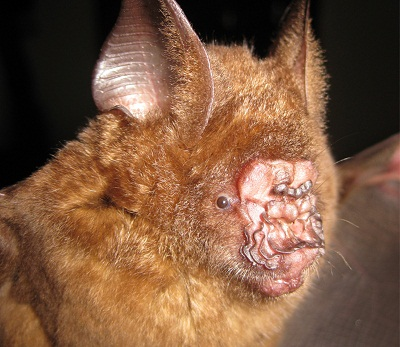 Griffin's leaf-nosed bat, or Hipposideros griffini, was named a new species in 2012. Photo courtesy of Vu Dinh Thong / Institute of Ecology and Biological Resources, Hanoi.