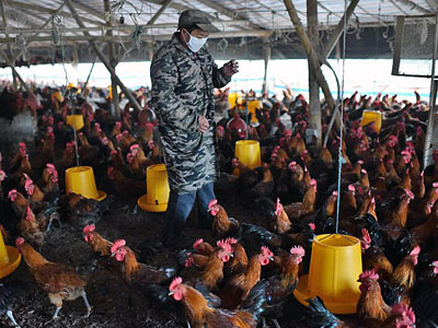 A worker walks amid chickens at a poultry farm in Hefei, eastern China's Anhui province, after superbugs were detected during routine health tests of pigs and chickens in southern China, Nov. 20, 2015.