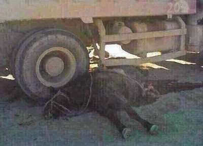 Ayungaa's horse lies under the truck that ran over it in Abag Banner in western Inner Mongolia's Shiliin-gol League, Nov. 8, 2014.