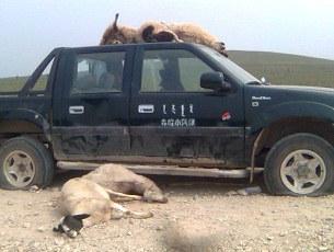 mongolia-animals305.jpg