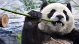 china-panda-09282016.jpg