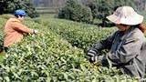 china-tea-zhejiang-305