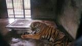 china-tiger-dec-2013.jpg