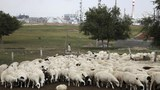 china-mongolian-sheep-herder-aug-2014.jpg