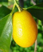 kumquat150.jpg