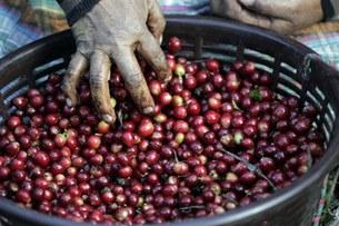 cofee-beans-305.jpg