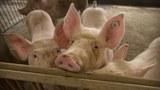 china-swine-fever