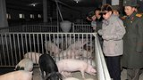 North Korean Swine Smuggling Heats Up