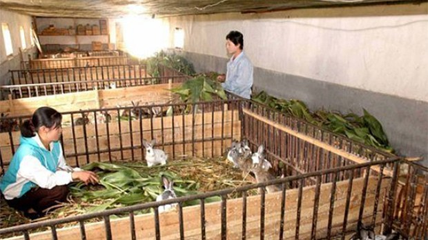 North Korea Orders State Firms to Raise Rabbits For Public Meat Stocks At Their Expense