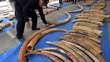 thailand-smuggled-ivory-for-laos-apr27-2015.jpg