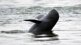 cambodia-dolphin-mekong-2012.jpg