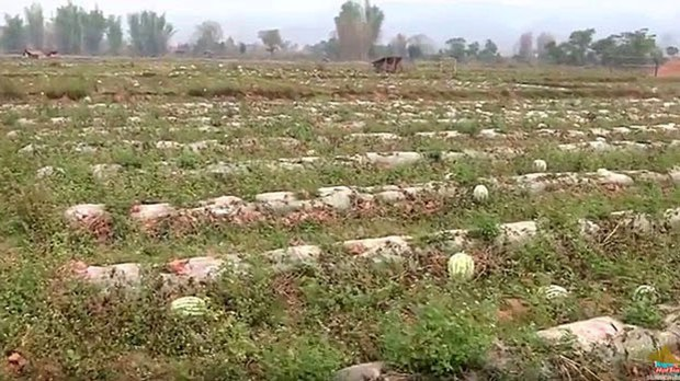 Lao Villagers Reluctant to Renew Land Lease With Chinese Watermelon Growers