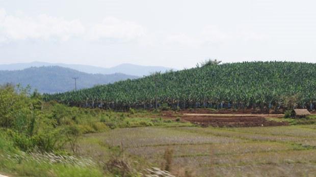 banana-farm-laos