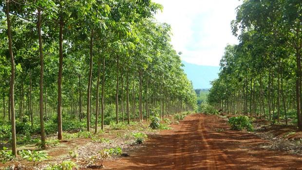 laos-rubbertrees2-101818.jpg