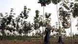 laos-rubber-plantation-305