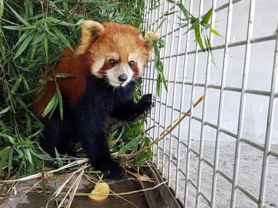 One of three surviving red pandas rescued from a van sits in a cage in a wildlife sanctuary in northern Laos' Luang Prabang province, Jan. 12, 2018.