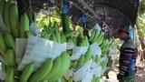 laos-bananas-foam
