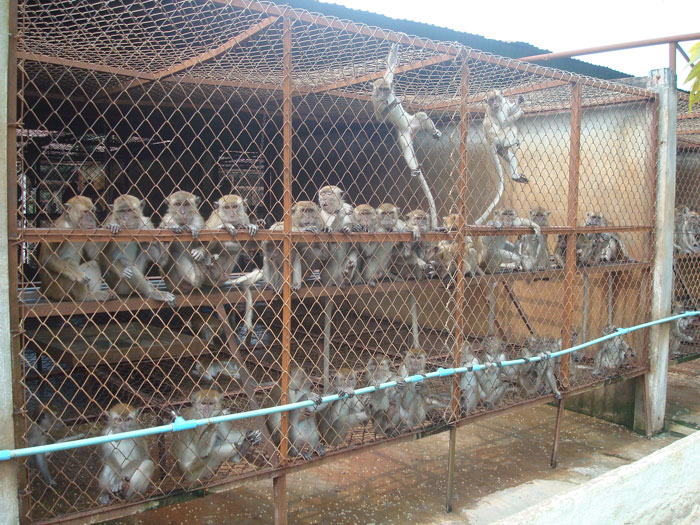 Laos Slapped For Supplying Macaques To Illegal Wildlife