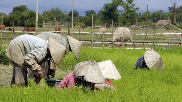laos-rice-farmer-crop
