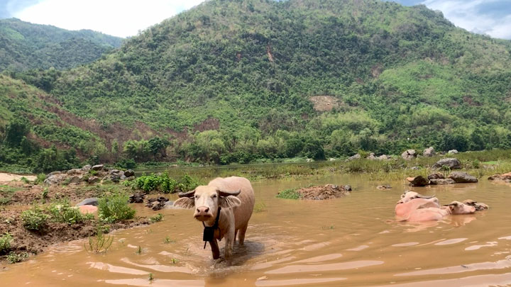Water buffaloes stand in the shallows of the Mekong River near the proposed site of the Luang Prabang Dam in Laos in an undated photo.