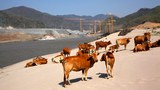 cambodia-cattle-mekong-jan22-2014.jpg